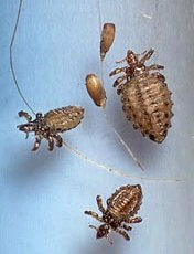 cattle_lice&eggs